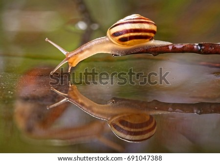 Snail looking into water reflection