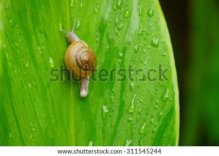 Snail on a leaf . - stock photo