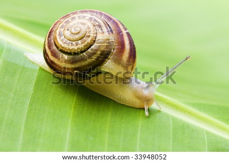 snail on banana palm green leaf