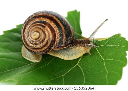 Snail on leaf close-up - stock photo
