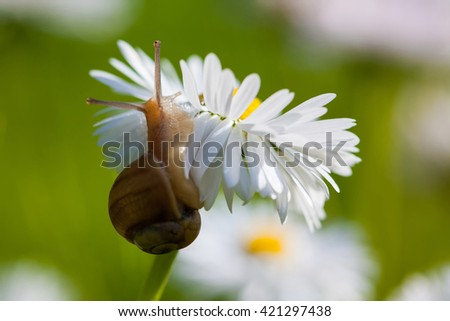Snail on the English Daisy (Bellis perennis) in the meadow - stock photo