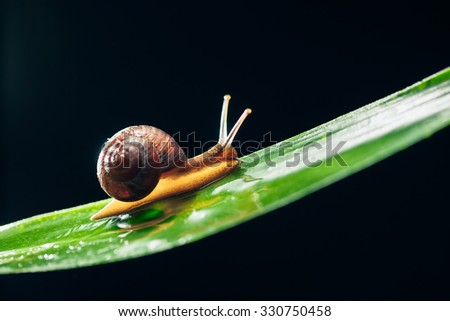 snail on the leaf against black background - stock photo