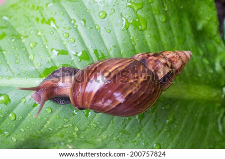 snail on the leaf in the rainy day - stock photo