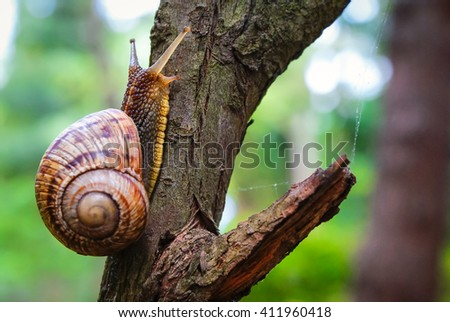 Snail on the tree in the garden. Snail gliding on the wet wooden texture. Macro close-up blurred green background. Short depth of focus. Latin name: Arianta arbustorum. - stock photo