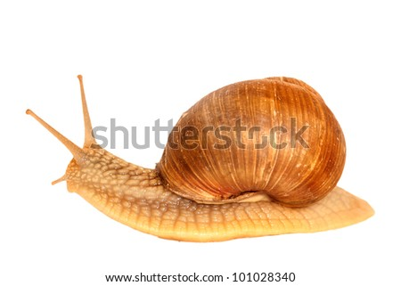 snail on white background - stock photo