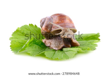 Snail sitting on a green leafe isolated on a white background - stock photo