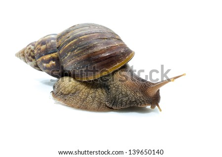Snail species in northern Thailand. - stock photo