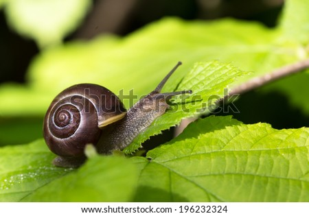 Snail up in a tree (Cepaea nemoralis) - stock photo