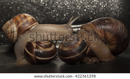 Snail with dark body gliding. Very short depth of focus. Latin name: Arianta arbustorum