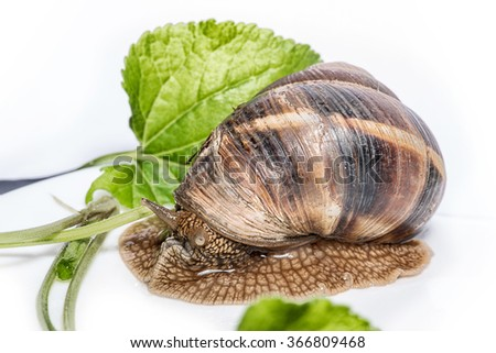 Snail with green leaves on a white background - stock photo