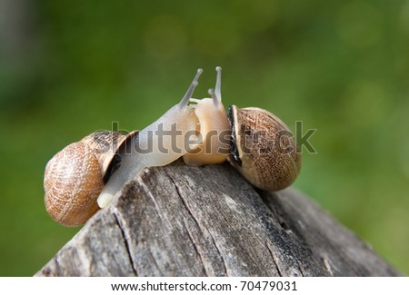 Snails in love kissing each other - stock photo