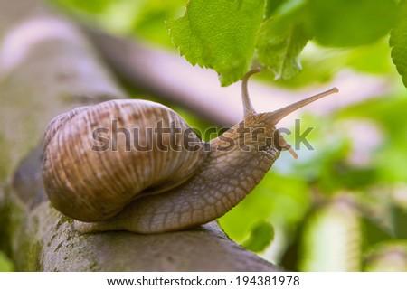 Snails-morning walk - stock photo