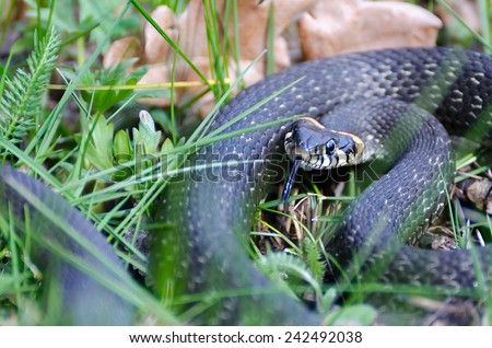 Snake among the grass in the spring with his tongue hanging out warns that it did not touch - stock photo