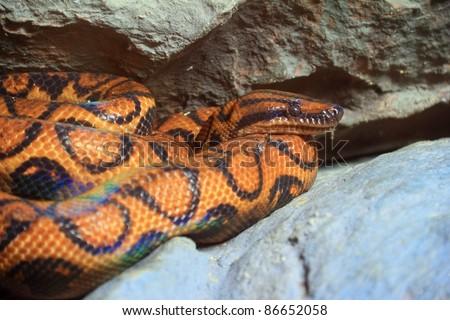 Snake,Brazilian rainbow Boa  ( Epicrates cenchia) - stock photo