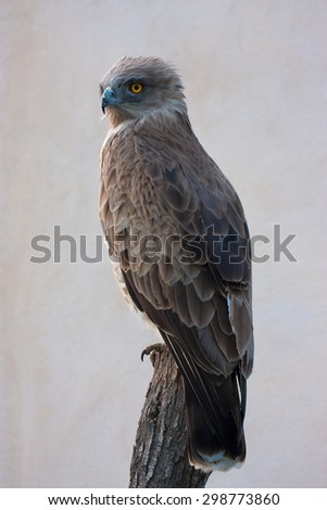 Snake Eagle, Circaetus gallicus - stock photo