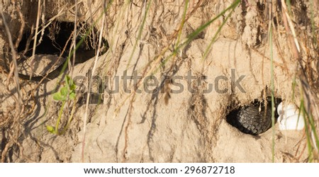 snake eggs in a burrow, which protects the mother - stock photo