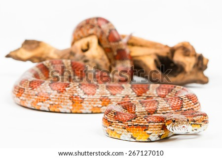 snake.elaphe guttata.young boa constrictor on a white background - stock photo