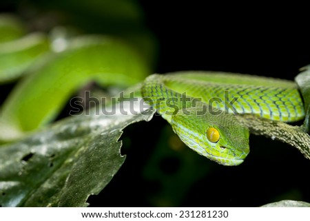 Snake,Green pit viper, Asian pit viper  in nature - stock photo