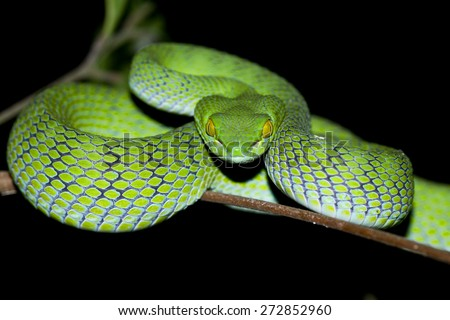 Snake,Green pit viper, Asian pit viper, Trimeresurus (Viperidae)  in nature  - stock photo
