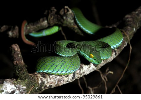 snake (green pit viper) in forest - stock photo
