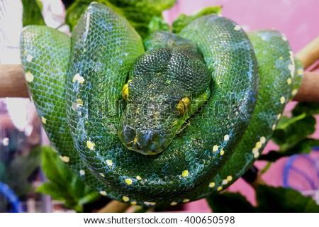 Snake,Green tree pytho,Morelia viridis (Pythonidae) - stock photo