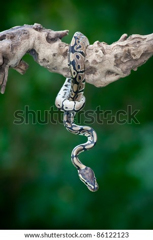 Snake hanging  on a tree - stock photo