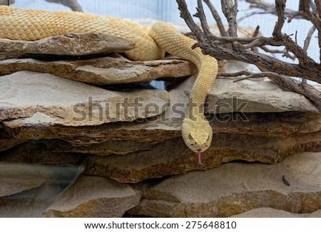 snake in desert areas - stock photo