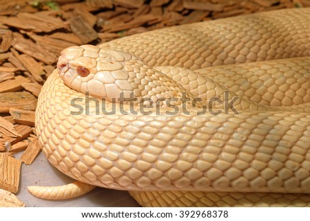 Snake in the terrarium - Albino indian cobra - stock photo