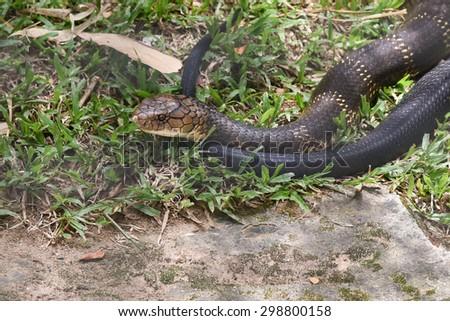 Snake King Cobra(Ophiophagus hannah), world's longest black venomous reptiles crawling is a dangerous beast .Beautiful snake skin with yellow stripes. National park Karnataka India - stock photo