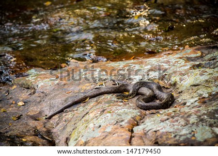Snake on a rock beside the water's edge.