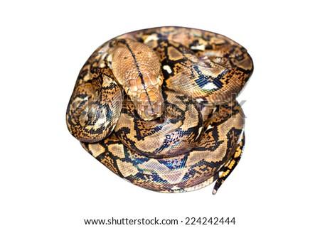 Snake on white background. - stock photo