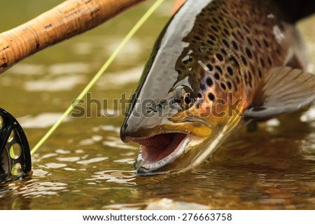 Snake River Brown Trout - stock photo