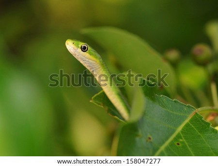 Snake tempting from a fruit tree - green snake called Opheodrys aestivus