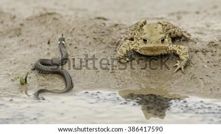 Snake vs frog - stock photo