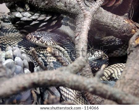 Snakes in an aquarium - stock photo