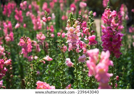 Snap dragon (Antirrhinum majus) blooming in garden - stock photo