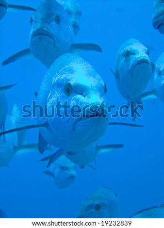 Snapper - stock photo