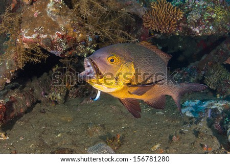 Snapper fish cleaned by cleaner wrasse - stock photo