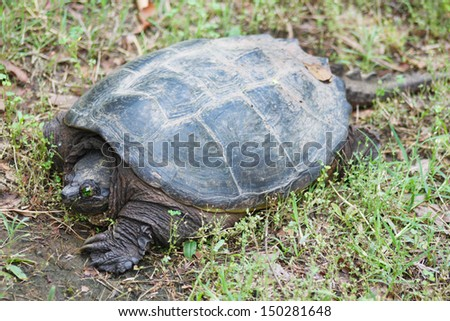 Snapping turtle - stock photo