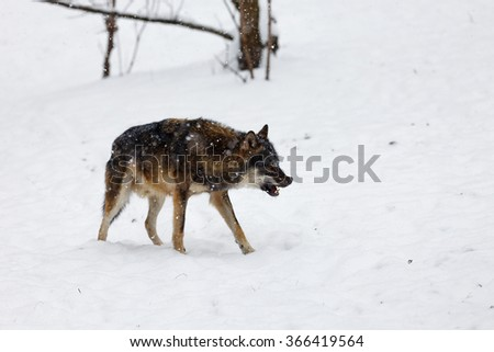 snarling and prudent wolf - stock photo