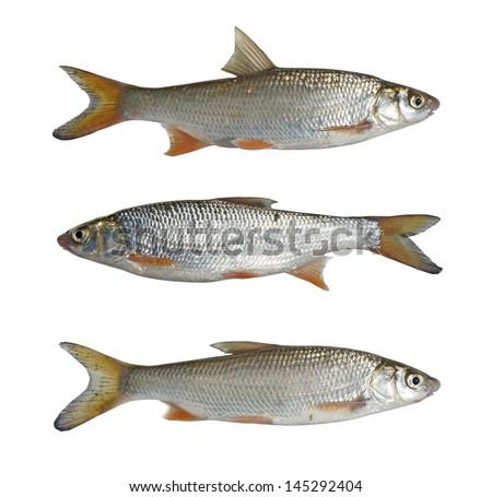 Sneep (Chondrostoma) - river, a freshwater fish - stock photo