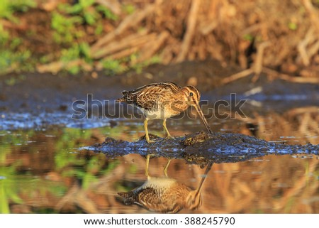 Snipe on the island of swamp land - stock photo