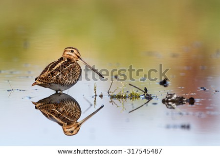 Snipe reflection in water