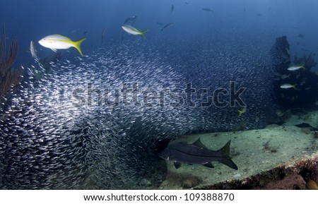 Snook chasing minnows in a giant bait ball. Minnows surrounding fish in Key Largo, Florida. On the Wreck of the Benwood inside the John Pennekamp State Park. - stock photo