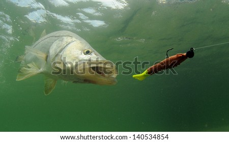 snook fish going after lure during fishing trip - stock photo
