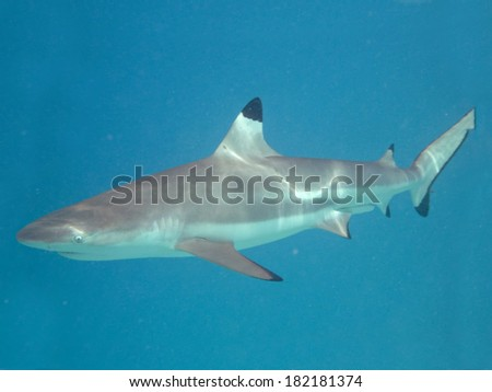 Snorkeling with a blacktip reef shark, Carcharhinus melanopterus, in the pacific ocean near the island of Tahiti in French Polynesia. - stock photo