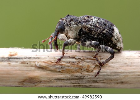 Snout beetles insect - stock photo
