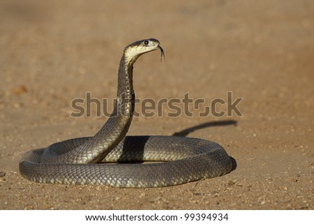 Snouted Cobra (Naja annulifera) hooded in defensive posture, tongue out, South Africa - stock photo