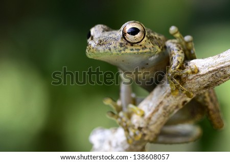 Snouted tree frog (Scianx ictericus)