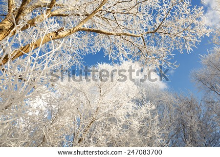 Snow and frost covered branches of trees on a sunny winter day - stock photo